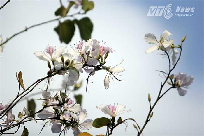 Hàng năm, cứ mỗi độ xuân về, hoa ban lại nở trắng núi rừng Tây Bắc.