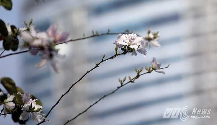 Hà Nội những ngày nay cũng rộ hoa ban nở.