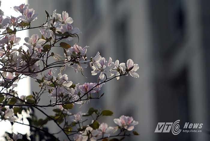 Và từ lâu, hoa ban cùng hoa sưa tạo thành một nét đặc trưng của Hà Nội tháng Ba - một Hà Nội 12 mùa hoa.