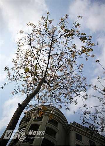 Sở dĩ có điều này là bởi những cây ban trên đường Mễ Trì đều cao vượt đầu người, rất khó để các bạn trẻ tạo dáng bên hoa.