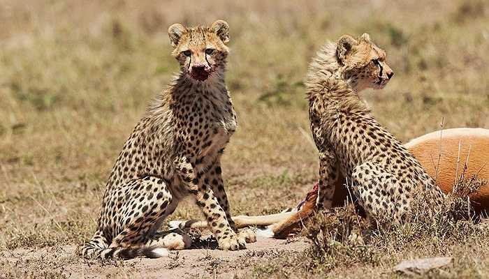 Trong khi báo mẹ nghỉ ngơi sau cuộc chiến, hai con báo con tiếp tục bữa ăn