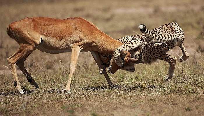 Con linh dương vùng vẫy muốn thoát khỏi sự dũng mãnh của con vật khát máu