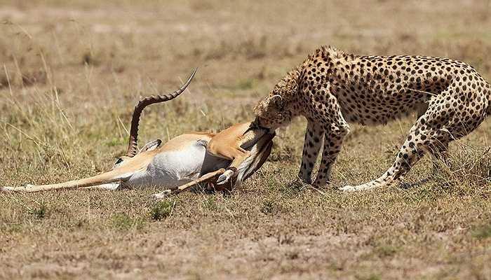 Tuy nhiên, con vật khát máu đã dành chiến thắng và hạ gục linh dương