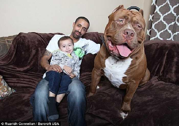 Trong khi Pit bull được dán mác 'nguy hiểm' và bị cấm nuôi tại nhà, gia đình Gennan vẫn coi Hulk như thú cưng bởi sự hiền lành của nó
