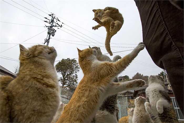 Lũ mèo chơi đùa và tranh giành thức ăn trên đảo Aoshima