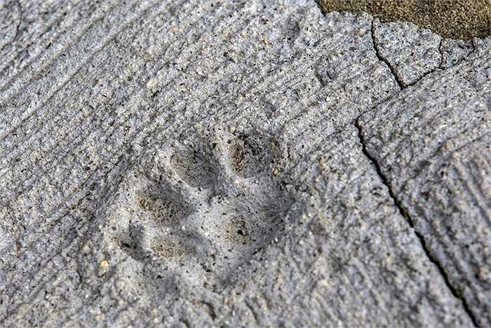 Dấu chân mèo in trên một mặt bê tông