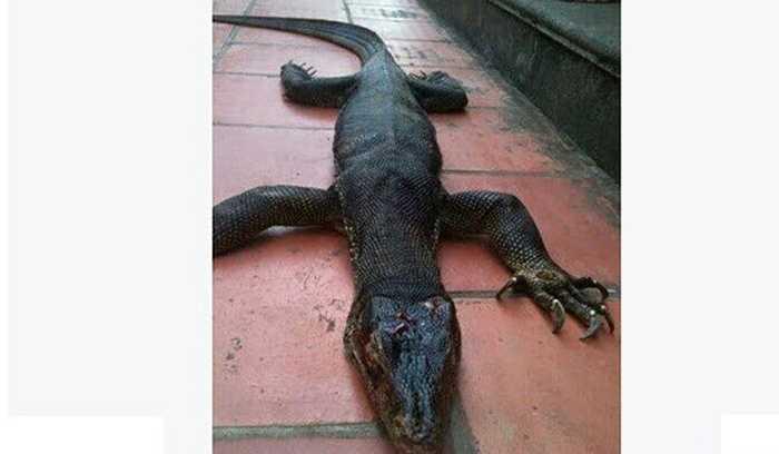 Tháng 12/2014, ảnh một con vật kỳ lạ trông như kỳ đà lai cá sấu được bắt ở Bắc Giang cũng thu hút sự chú ý của nhiều người. 'Quái vật' nặng hơn 18kg, được đồn đoán là một con kỳ đà khổng lồ, song cũng có ý kiến cho đó là rồng đất Komodo. Ảnh: Facebook Hà Quang Minh.
