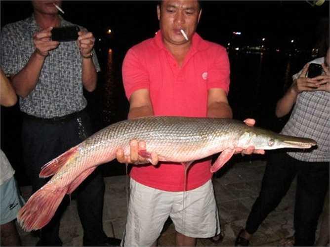 Năm 2012, sự việc anh Trần Văn Hạnh (trú tại khối 7, phường Hà Huy Tập, TP Vinh) câu được một con cá lạ có thân hình tròn, dài, phần đầu rất khác giống như đầu cá sấu, có răng sắc nhọn trong hồ cũng khiến mọi người xôn xao bàn tán. Ảnh: Zing.