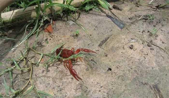 Sự thực thì nó là một con tôm rồng Bắc Mỹ mà một công ty nước ngoài đã nuôi thử nghiệm ở Phú Thọ. Loài tôm này sống dưới nước, song lại đào hang, bò lên bờ như cua. Ảnh: VTC News