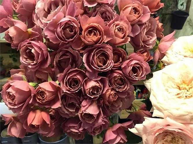 Hoa hồng Marsala xuất xứ Italy có màu sắc cực độc đáo.