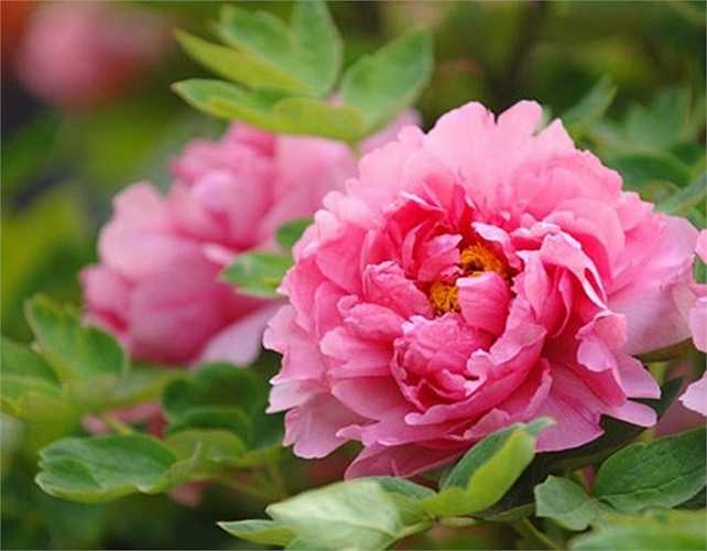 Nhờ yếu tố về 'ngoại hình', màu sắc đẹp mắt, trang nhã, hoa mẫu đơn được cửa hàng hoa tại TP HCM bán với giá 600.000 đồng/cành, nếu mỗi bông hoa được bó hoàn chỉnh sẽ có giá 850.000 đồng. Với mức giá này, mẫu đơn đang là loại hoa có giá 'đại gia' nhất dịp 8/3.