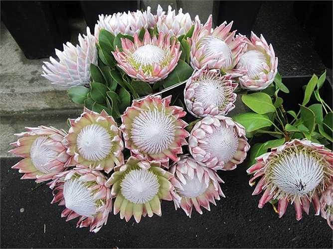 Nhờ hình dáng độc, lạ mắt, hoa có thể bền tới 2 tuần, nhiều khách sẵn sàng chi tiền để mua loại hoa đắt đỏ này.