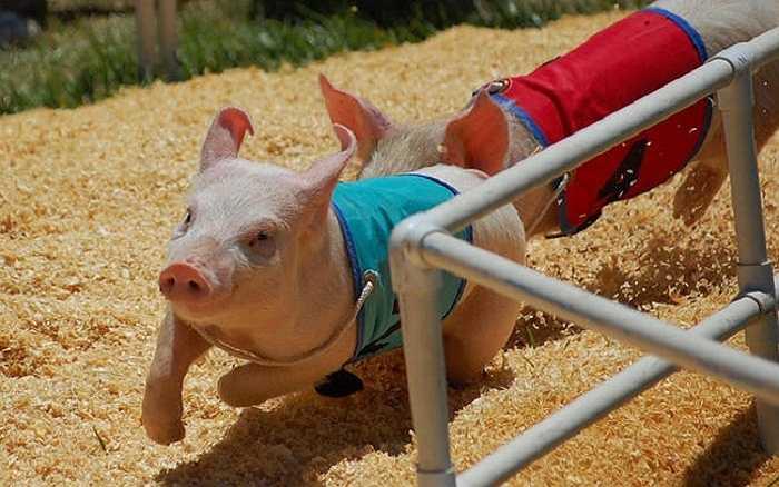 Ở một số nước châu Âu, đua lợn không thể thiếu vào mỗi dịp lễ hội.