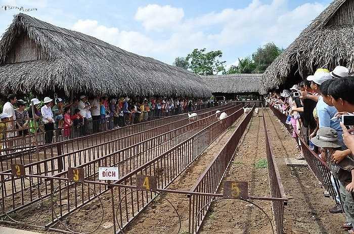 Ngay tại Việt Nam, đua lợn cũng đã được vào các khu du lịch sinh thái.