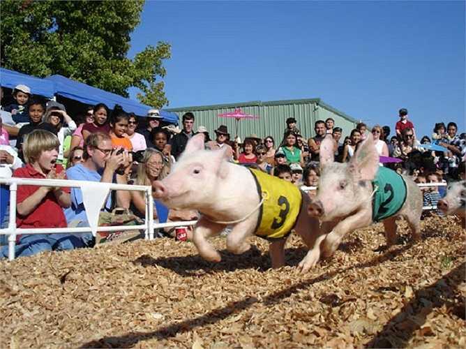 Những chú lợn được khoác lên mình chiếc áo đua như những tay đua đích thực.