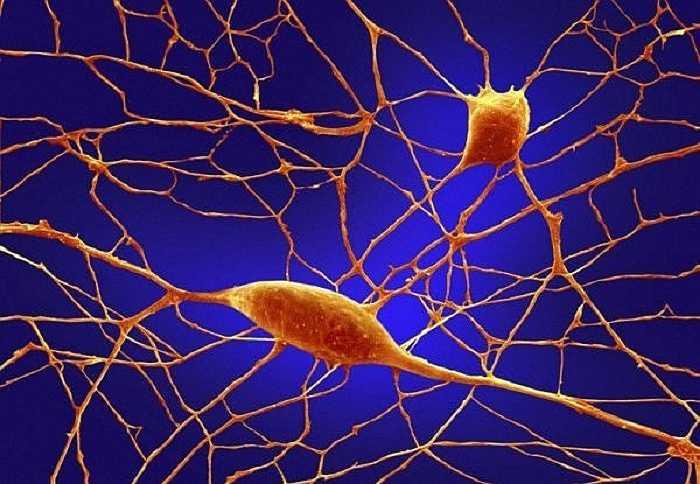 Các tế bào noron thần kinh.