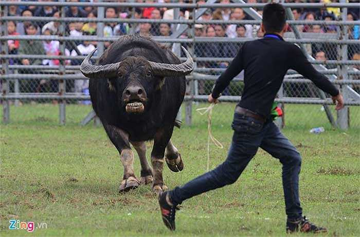 Nhiều trâu khi thắng hoặc thua đều chạy loạn các hướng, thậm chí lao thẳng vào chủ nuôi.
