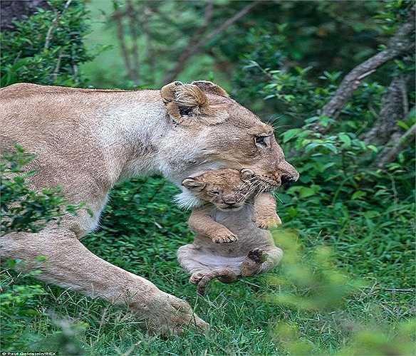 Sư tử con có vẻ mãn nguyện khi được mẹ đưa đi bằng cách này