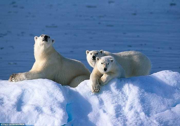 3 mẹ con nhà gấu phơi nắng trên tảng băng