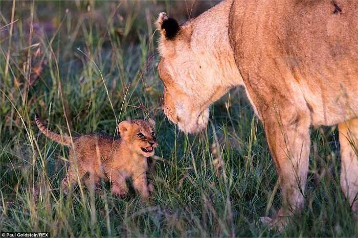 Sư tử con mới 5 tuần tuổi chơi đùa cùng mẹ