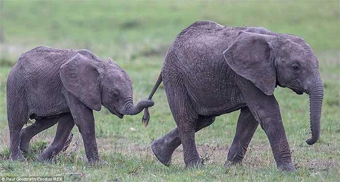 Con voi nghịch ngợm, cuốn vòi vào đuôi mẹ nó