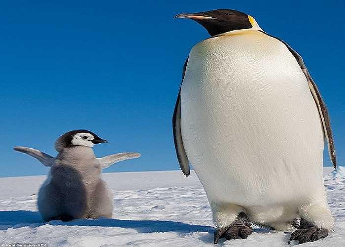 Con chim cánh cụt nhỏ bé sải cánh bên cạnh mẹ như để gây sự chú ý