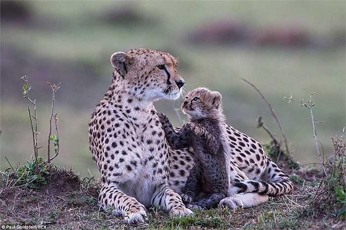 Con báo Cheetah quấn quýt bên mẹ nó