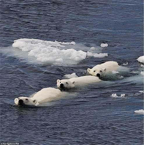 Gấu bắc cực mẹ dẫn con của mình đi qua vùng biển băng giá ở Spitsbergen, Na Uy