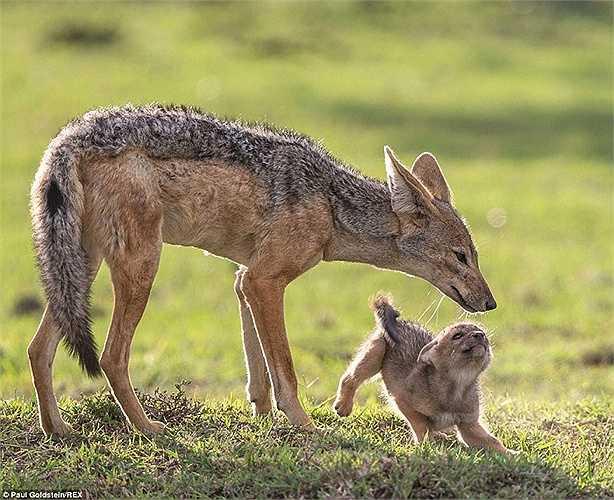 Hai mẹ con chó hoang ở Masai Mara, Kenya