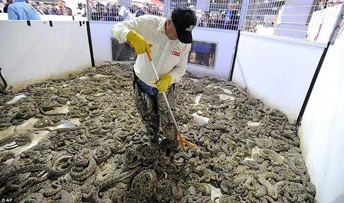 Lễ hội xả thịt rắn này đã diễn ra từ năm 1958, tại đây, những người tham gia cùng nhau xả thịt hàng nghìn con rắn chuông