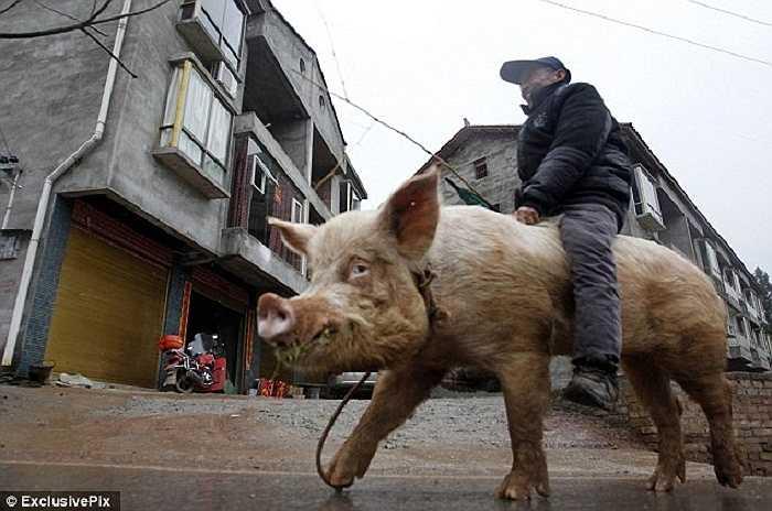 Người dân nơi đây đã quen với hình ảnh một người đàn ông 69 tuổi cưỡi một con lợn khủng đi siêu thị