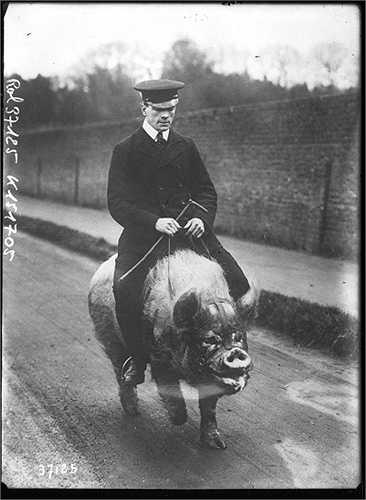 Câu chuyện không phải là đầu tiên, cuối thế kỷ 19 đầu thế kỷ 20, Menagerie Keepers, một người đàn ông Anh cũng lấy lợn làm thú cưỡi.