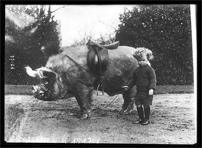 Chú lợn này thậm chí còn hiện đại hơn 'người đồng nghiệp' ở thế kỉ 21. Nó được trang bị cả yên da và dây kéo.