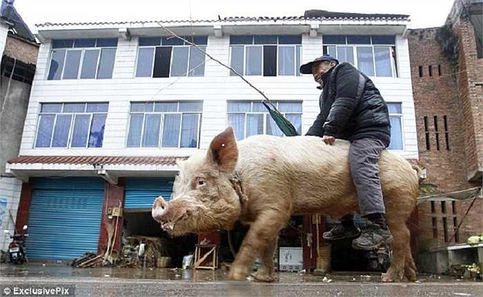 Làm nghề 'gia truyền' được 30 năm, ông đã quá quen thuộc với những con lợn và coi chúng như vật nuôi trong nhà.