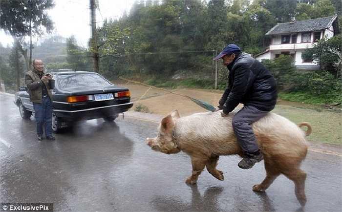 Ông bắt đầu cưỡi lợn đi chợ và thỉnh thoảng đi dạo trong thị trấn kể từ khi căn bệnh viêm phế quản khiến ông trở nên ốm yếu