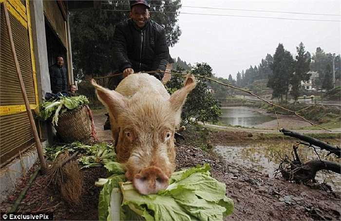 Con lợn mà ông chọn làm phương tiện di chuyển cao gần 1m, nặng 250 kg.