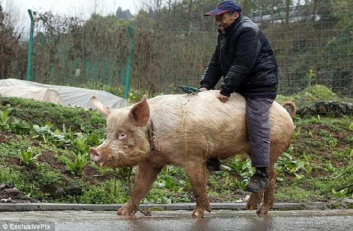 Lão nông Trung Quốc tâm sự: 'Ban đầu, tôi nghĩ cưỡi lợn sẽ rất khó khăn. Nhưng hóa ra, nó êm hơn tôi tưởng nhiều'.
