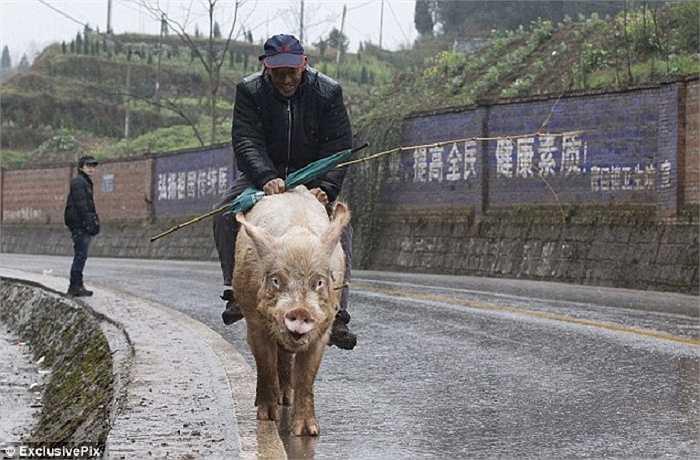 Bất kể trời mưa, chú lợn vẫn là phương tiện đi lại được ông tin tưởng