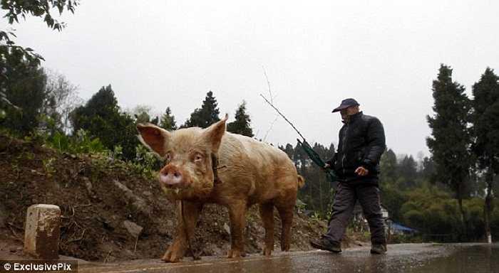 Ngay cả khi đã khỏe mạnh trở lại, lão nông Trung Quốc vẫn thích cưỡi lợn hơn.