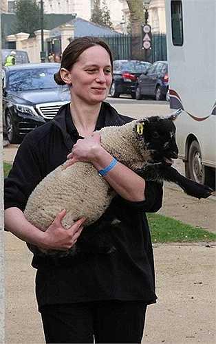 Không chỉ có cún cưng, ngựa vằn mà có cả cừu cũng được đưa đến buổi lễ