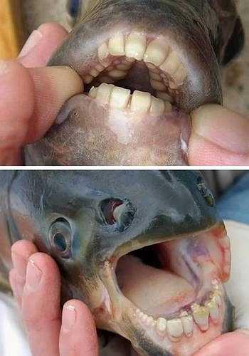 Một loài cá có tên 'Sheepshead' có bộ răng giống như răng người đã được phát hiện ở Mỹ. Dù có hàm răng khá đáng sợ, nhưng loài cá này cũng không quá nguy hiểm nếu như ai đó bị chúng cắn.