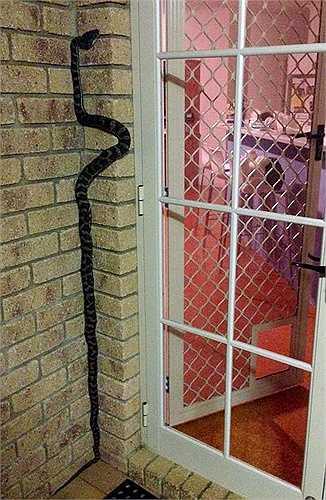 Một con rắn đang trình diễn màn ống nước chạy dọc tường. Richie chia sẻ thêm, nhiều người lầm tưởng rắn sẽ đuổi bắt và cắn bạn nhưng sự thật không phải thế. Thay vì có thân hình nhũn nhớt, loài rắn thực sự chỉ giống như những cái móng tay.