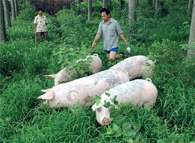 Chăm sóc lợn sau khi  xăm hình.
