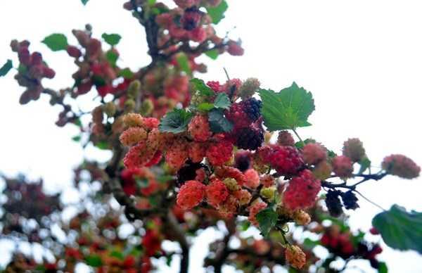 Khi quả chín sẽ chuyển dần từ màu đỏ sậm sang màu tím đậm.