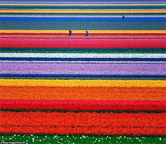 Cánh đồng hoa Tulip, Hà Lan tràn ngập những bông hoa tulip rực rỡ đầy màu sắc đang nở rộ sẽ khiến bạn cảm thấy như đang ở trong một thế giới tưởng tượng.