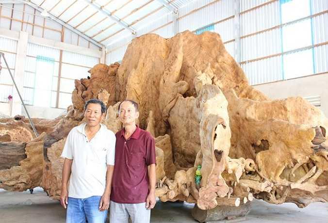 Chủ nhân gốc cổ thụ này là ông Mai Kiên ở khóm 2, phường 5, TP. Sóc Trăng (tỉnh Sóc Trăng). Ông làm nghề kinh doanh gỗ 40 năm nay.