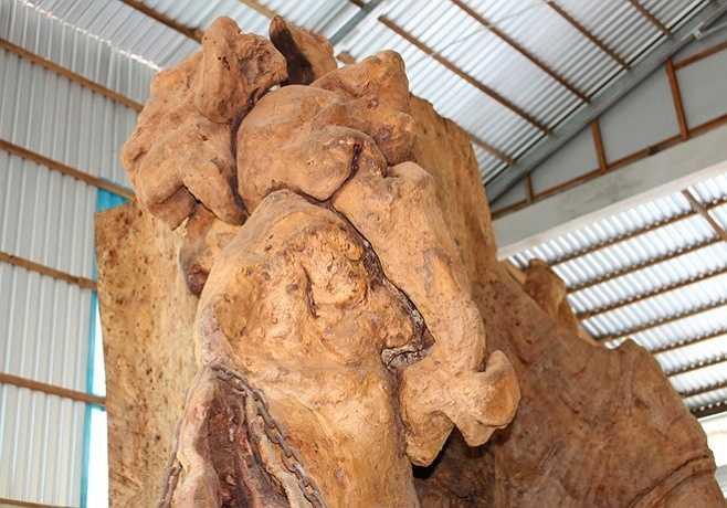 Khi chưa xử lý, bộ rễ của cây nặng hơn 30 tấn. Để vận chuyển về nhà, ông phải mất 1 tháng cưa, xẻ và thuê phương tiện chở, với chi phí hơn 200 triệu đồng.