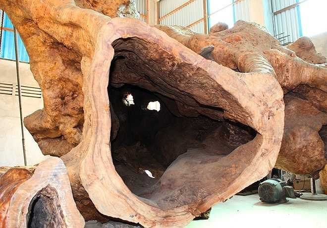 Giới sành cây kiểng cổ cho biết, gốc cây ông Kiên mua được là một trong 2 cây cổ thụ tại ngôi đình ở ấp Phụng Từ 1. Quá trình bơm cát thi công một công trình ở đây đã ảnh hưởng đến bộ rễ, khiến cây chết.