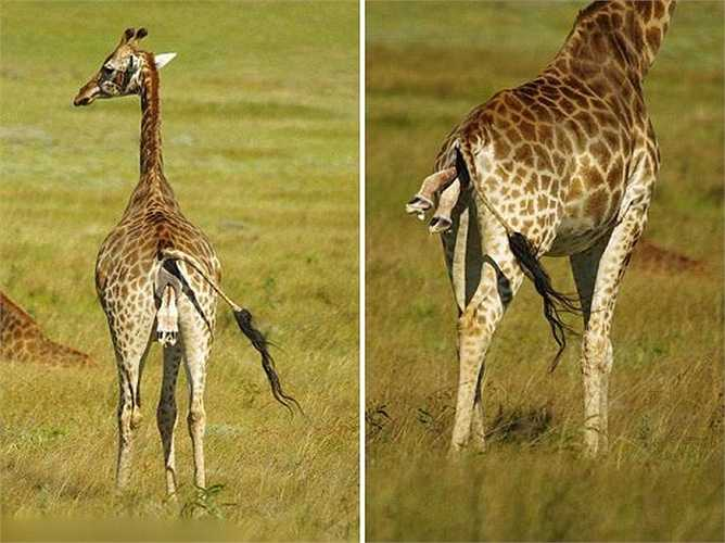 Khách du lịch đến khu bảo tồn thiên nhiên ở Port Elizabeth (Nam Phi) đã được tận mắt thấy cảnh sinh con của một chú hươu cao cổ