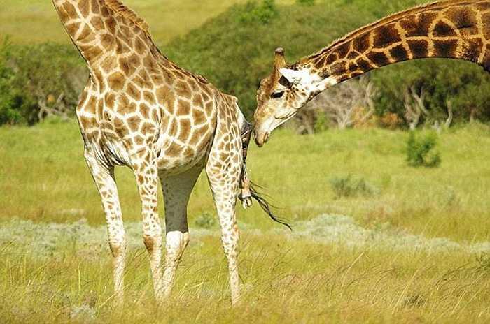 Hươu mẹ trải qua 2 tiếng đồng hồ 'vượt cạn', sau đó sinh ra một hươu cao cổ 1,8m. Hươu bộ đứng bên cạnh che chở cho hươu mẹ khi sinh con